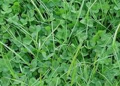 Mauvaises herbes gazon comment les identifier blog leroidugazon - Identifier mauvaise herbe gazon ...