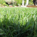 Installation du gazon tout terrain - Identifier mauvaise herbe gazon ...